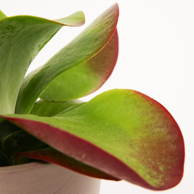 Comprar Kalanchoe planta