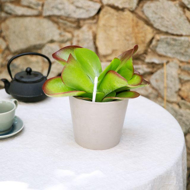 Kalanchoe Thrysiflora Variegata planta online