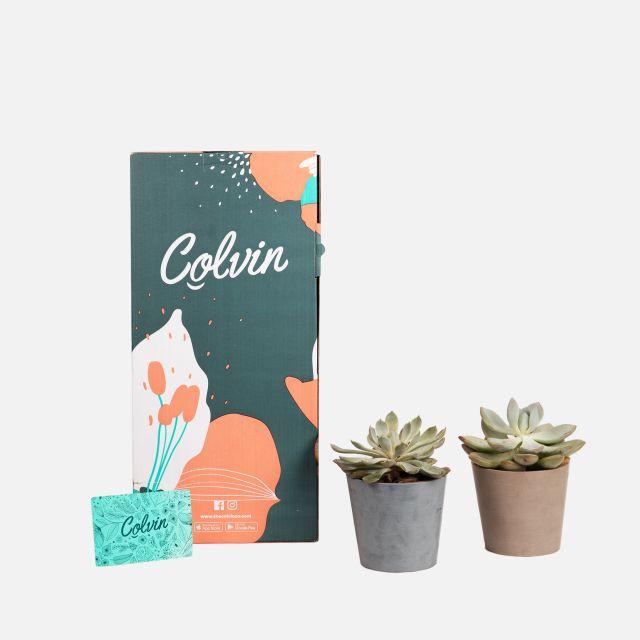 pack plantas echeveria comprar