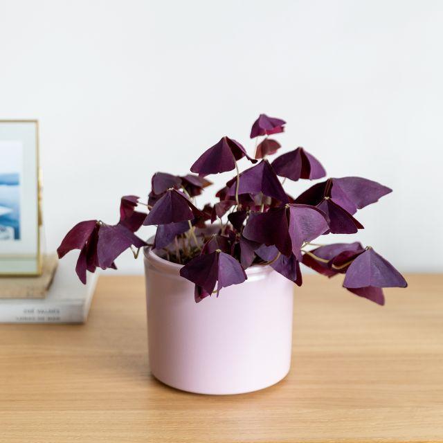 Comprare pianta Oxalis triangularis