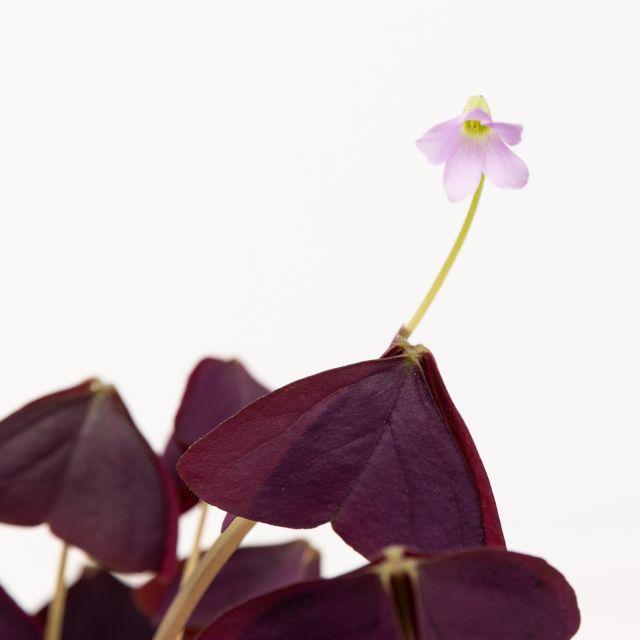 Acquista online la pianta della farfalla
