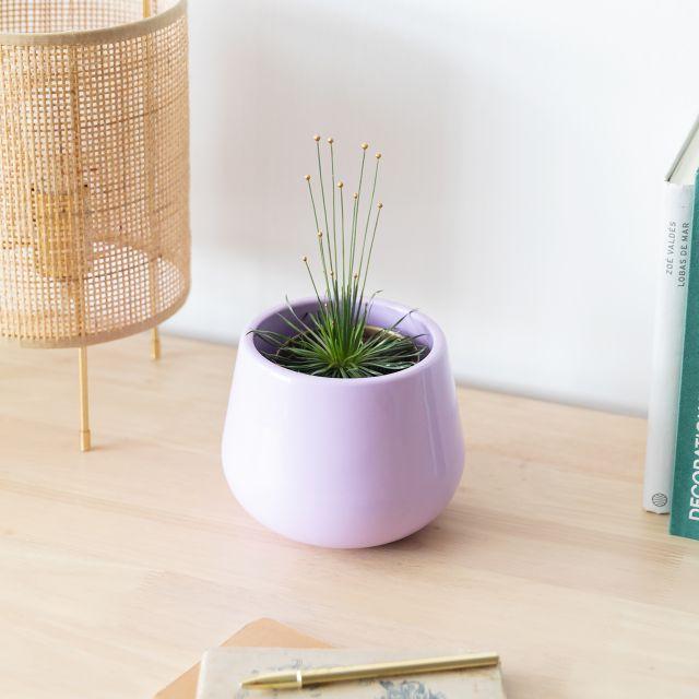 Syngonanthus Chrysanthus oder Mikado Pflanze online