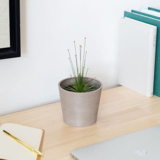 Syngonanthus Chrysanthus oder Mikado Pflanze Colvin