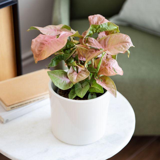 Comprar little neo planta Colvin