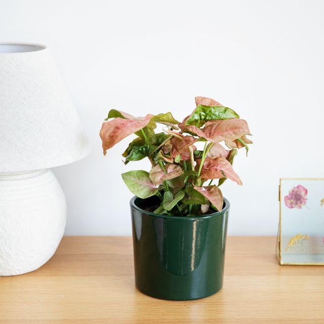 Envío syngonium neon robusta planta