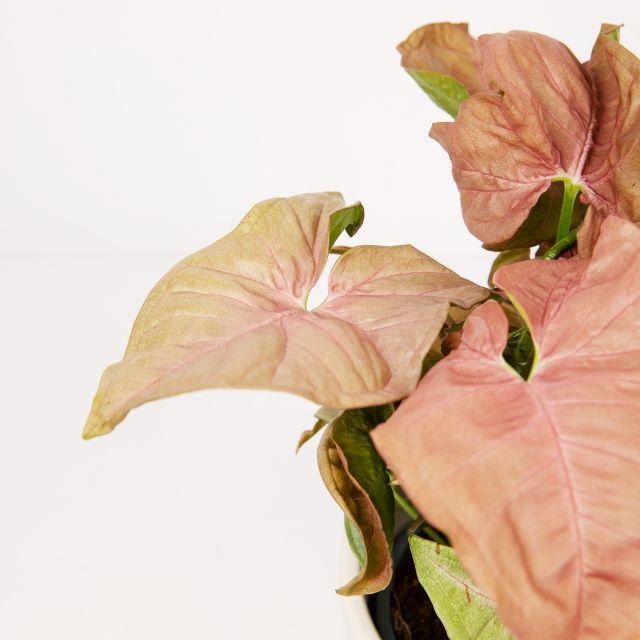 Comprar syngonium neon robusta planta