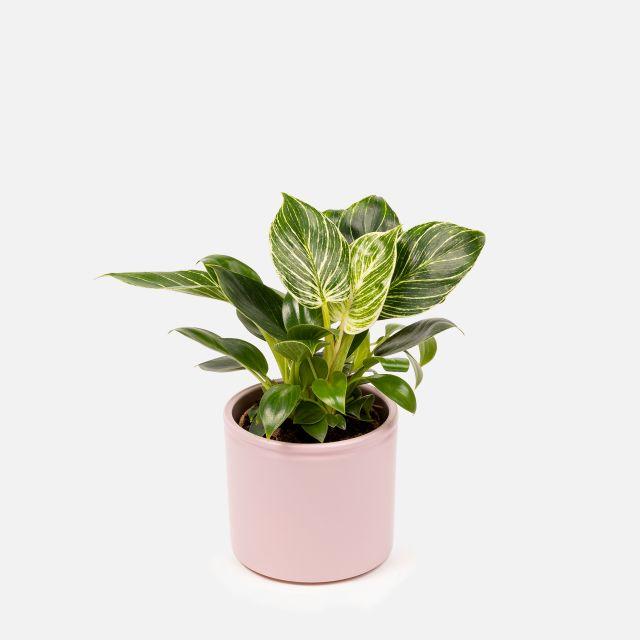 Philodendron birkin planta