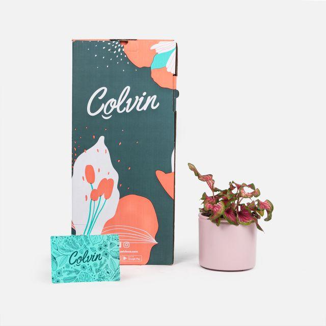 caladium sweetheart online