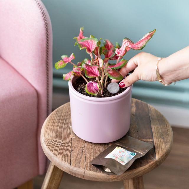 Comprar caladium rojo y rosa a domicilio