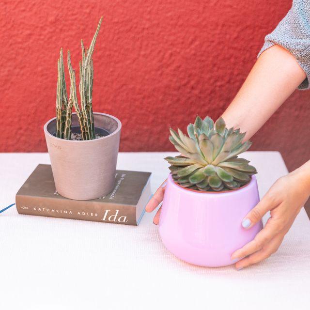 piante Senecio e Echeveria online