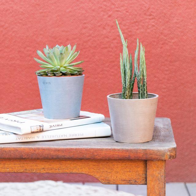 piante Senecio e Echeveria Colvin