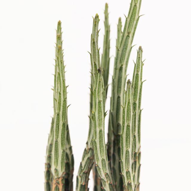Comprare piante Senecio e Echeveria