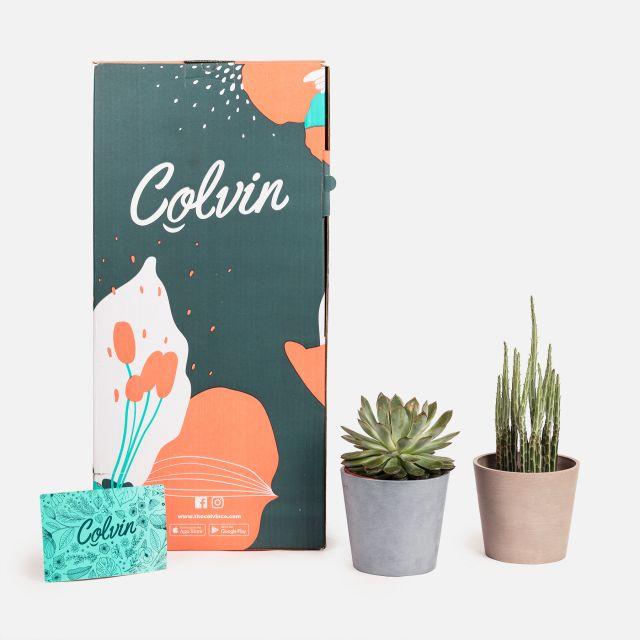 Comprare pack di piante senecio ed echeveria