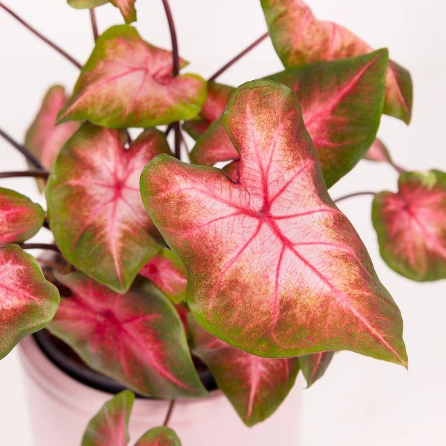 Comprare pianta caladium splash