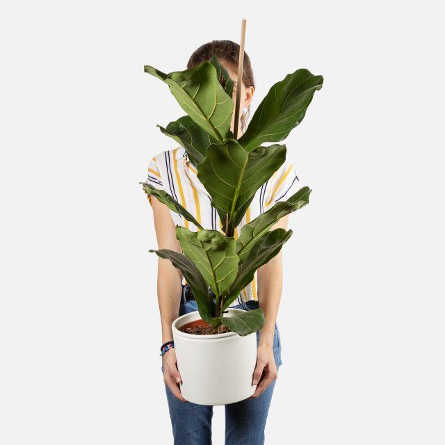 Pianta Ficus Lyrata grande