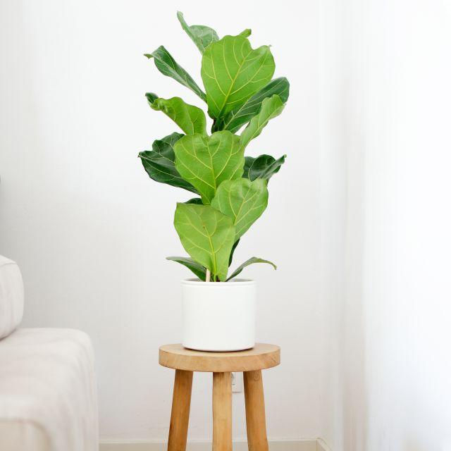 Pianta a domicilio Ficus Lyrata grande