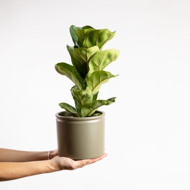 Planta Ficus Lyrata média