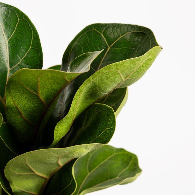 Ficus Lyrata mediana online