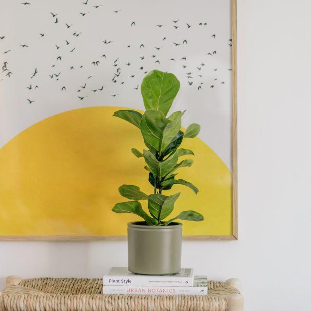 Comprar Ficus Lyrata