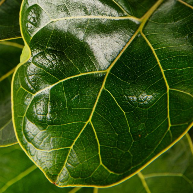 Comprar Ficus Lyrata online
