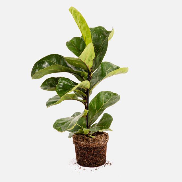 Planta ao domicilio Ficus Lyrata