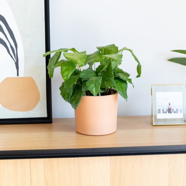 Calathea Musaica Pflanze