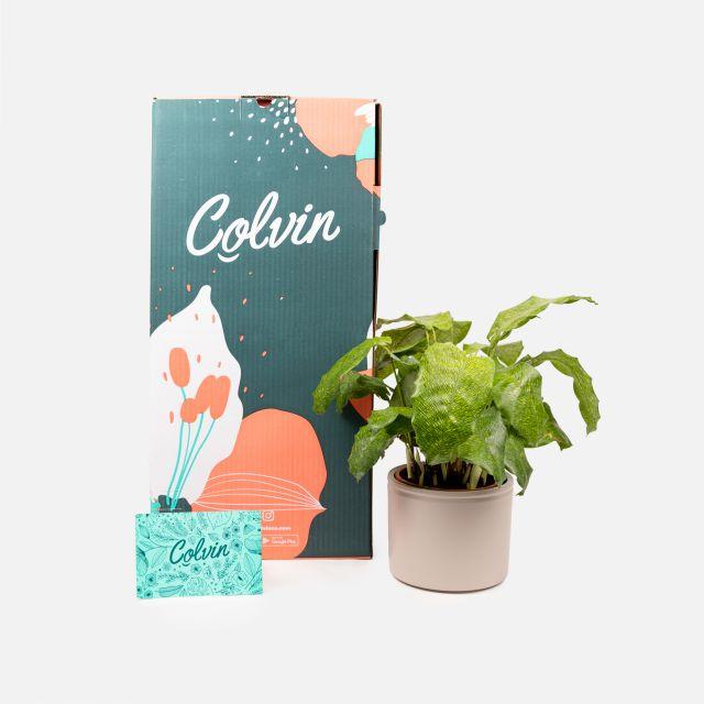 Calathea Musaica Pflanze online kaufen