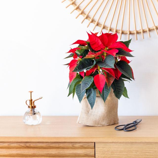 Comprare Poinsettia a domicilio