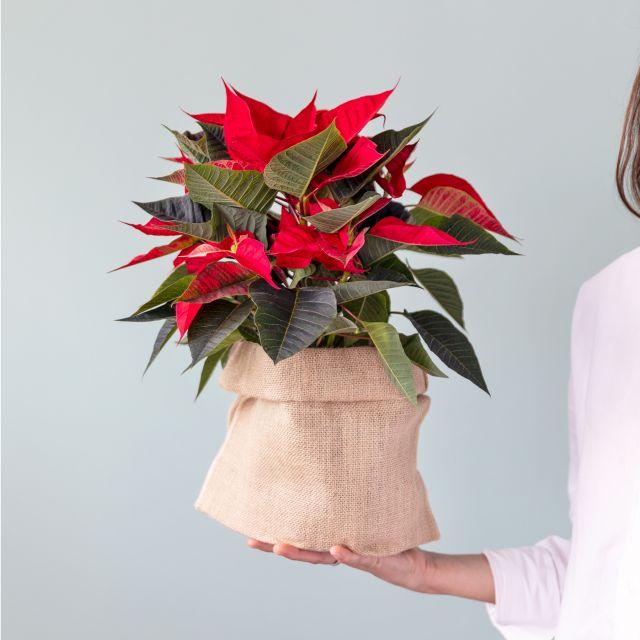 Comprare Poinsettia