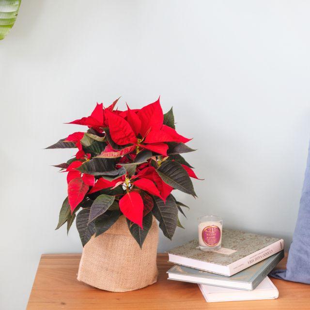 Comprare Poinsettia online
