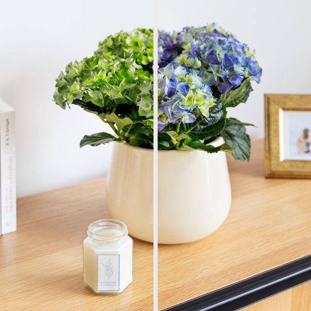 pack online hortensia azul, cubremaceta y vela