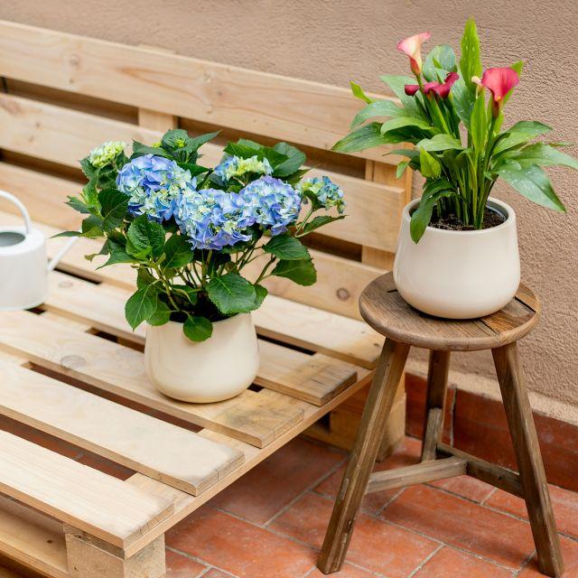 inviare ortensia blu Hydrangea Macrophylla a casa tua