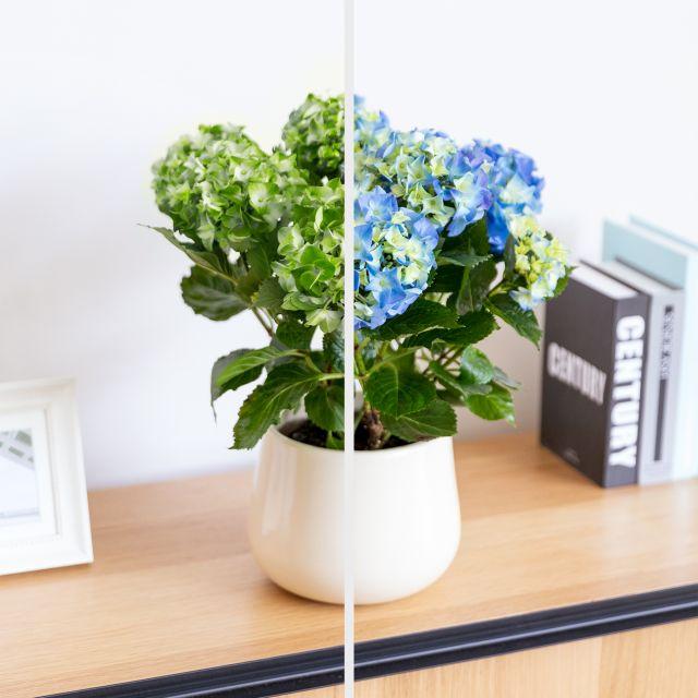 Acquista pacchetto regalo ortensia blu, coprivaso e candela per la festa della mamma