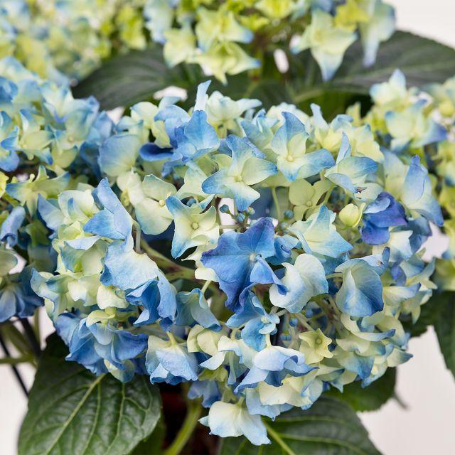 ortensia blu Hydrangea Macrophylla colvin