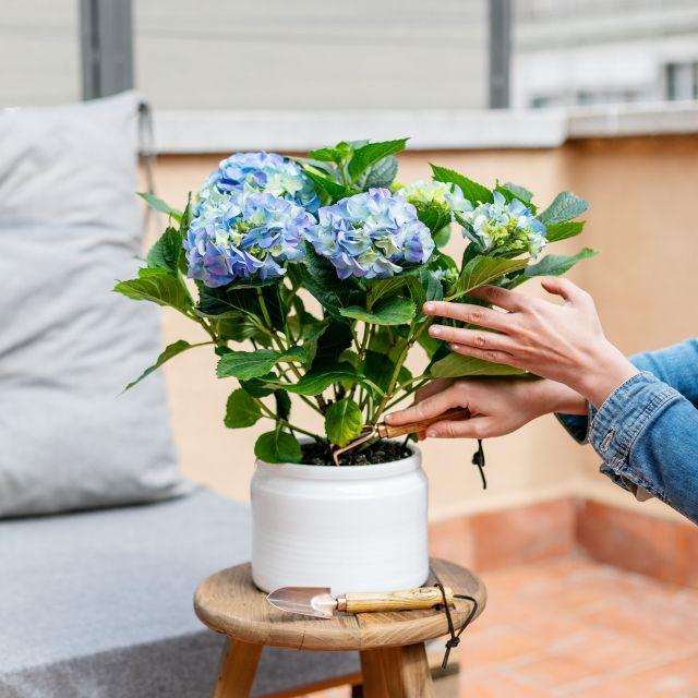 inviare ortensia blu Hydrangea Macrophylla consegna a domicilio
