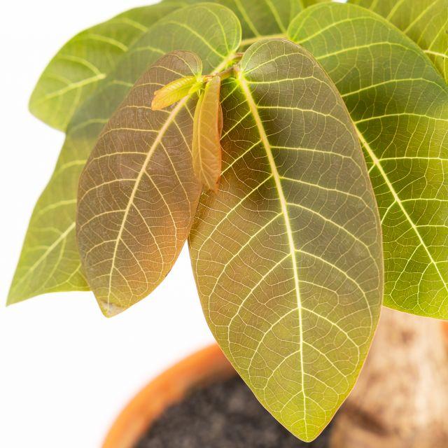 Phyllanthus Mirabilis kaufen