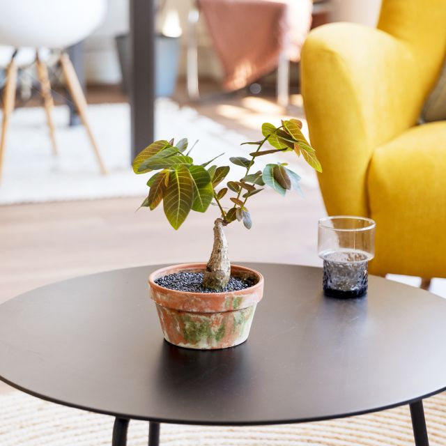 Phyllanthus Mirabilis Pflanze Colvin