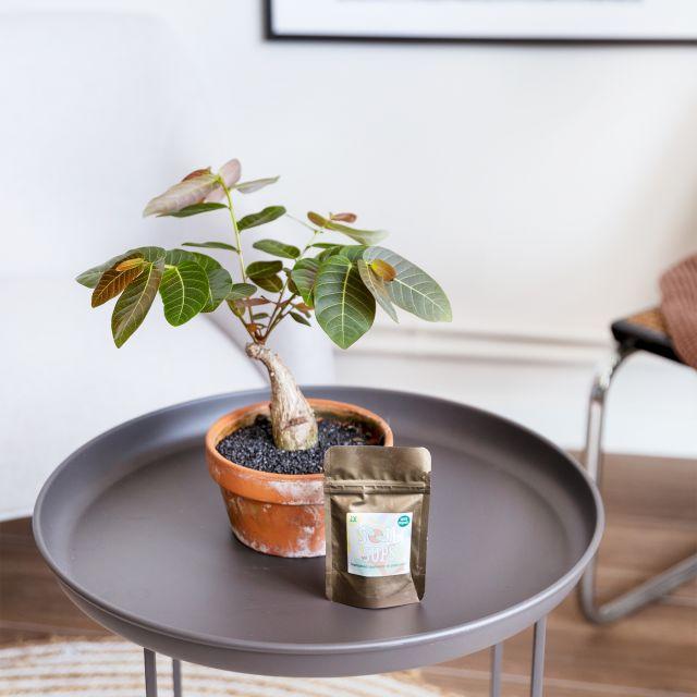 phyllanthus mirabilis envío a domicilio