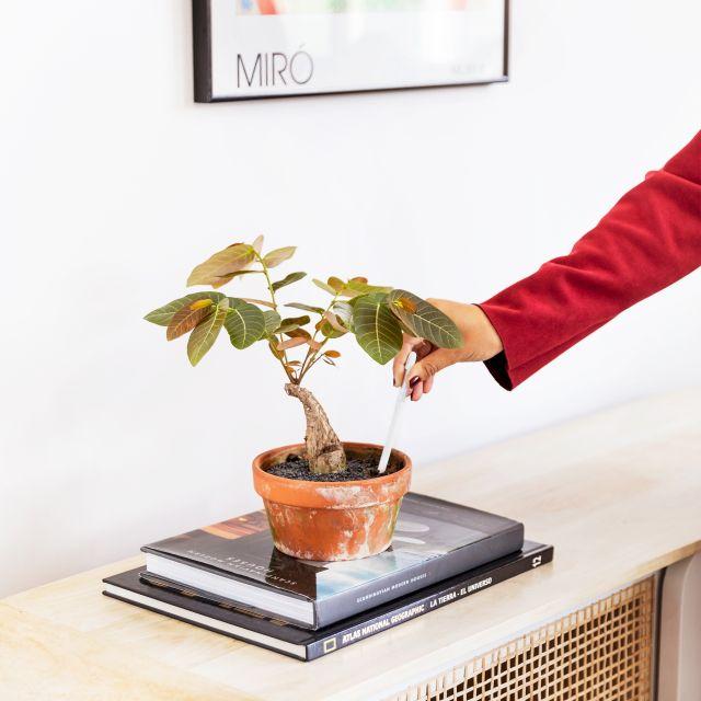 Comprar phyllanthus mirabilis online
