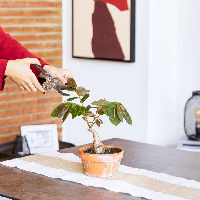 phyllanthus mirabilis a domicilio