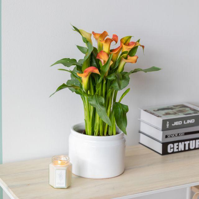 Pflanzen online kaufen Calla weiße Mangoblume