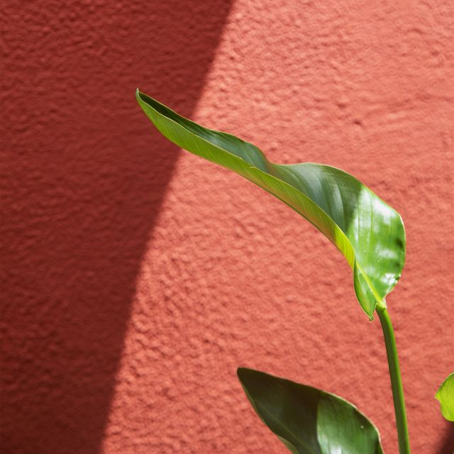 Strelitzia Nicolai Pflanze online