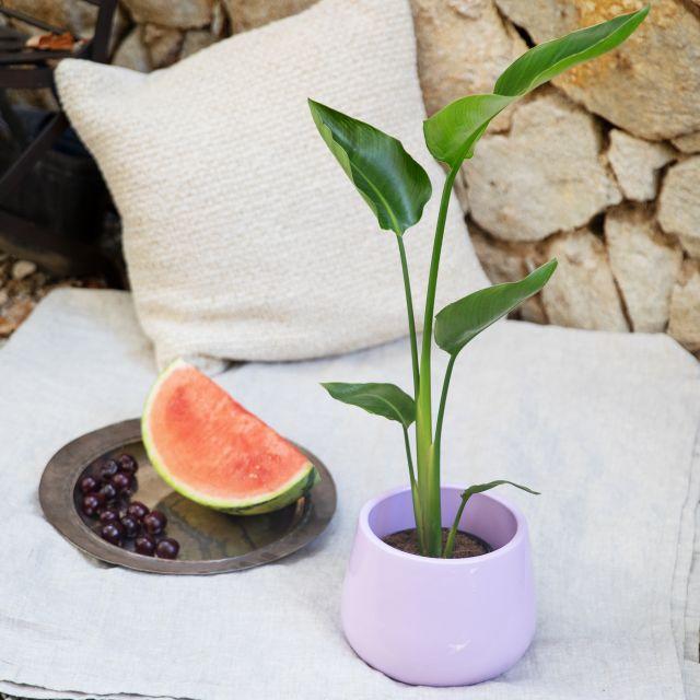 Envio Strelitzia Nicolai planta a domicilio