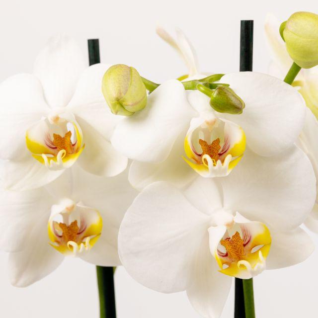 orchidee phalaenopsis oriana colvin