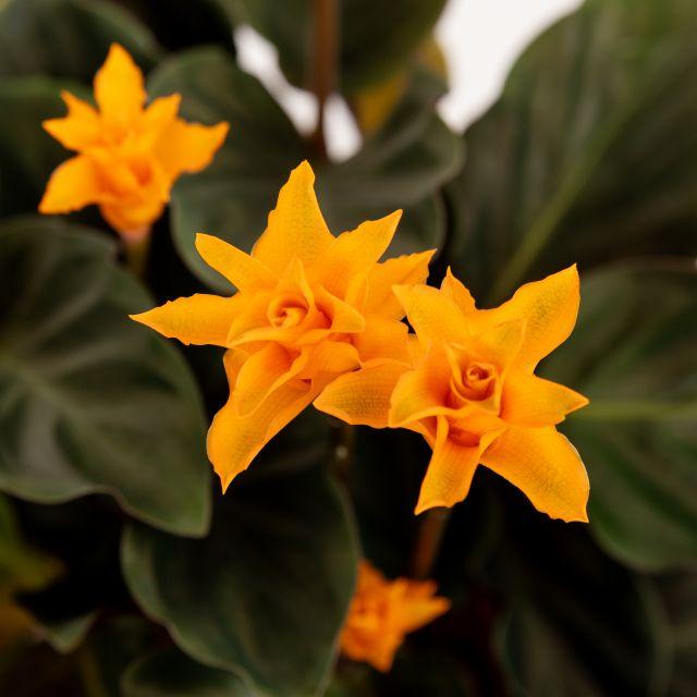 Comprar planta llama eterna online