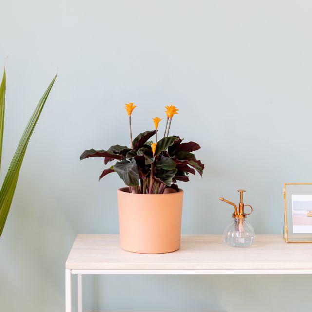 Calathea crocata planta