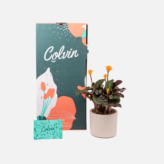 Comprare calathea crocata online