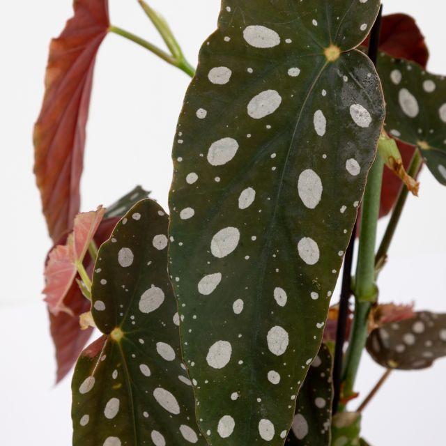 Planta Begonia Maculata Wightii online