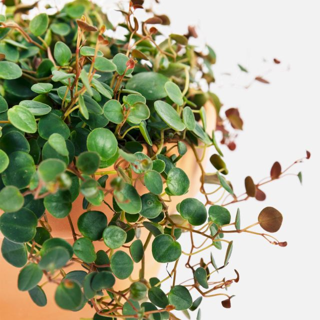 Comprare pianta Peperomia Pepperspot