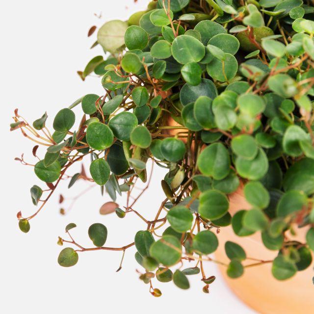 Inviare pianta a domicilio Peperomia Pepperspot